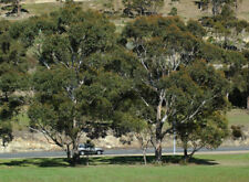 Swamp Gum (Eucalyptus ovata) 100 Fresh Seeds