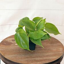Live Philodendron in growers pot evergreen indoor vine plant
