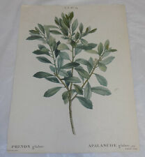 early 1800s Floral COLOR Print///GALLBERRY, or, INKBERRY PLANT
