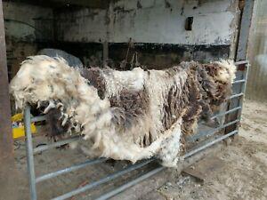 JACOB   UNWASHED RAW SHEEP FLEECE WOOL SPINNING FELTING 1000g