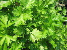 HERB  PARSLEY PLAIN LEAVED ( FRENCH)  25,000 SEEDS - CERTIFIED ORGANIC - BULK