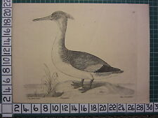 c1735 PRINT THE GOOSANDER ~ ANTIQUE BIRD PRINT ELEAZER ALBIN ~