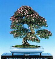 BONSAI TEA TREE SEEDS INDOOR OUTDOOR FLOWERING NATIVE SHRUB 500 SEED PACK