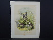 "Birds, Jacob H. Studer, 1903 One Large Old Print! 12"" x 15"" #16"