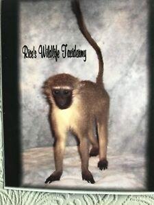 Vervet Monkey Taxidermy Mount