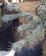 Cylindropuntia fulgida Chain Fruit Cholla Cactus 1 Section