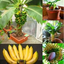 Dwarf banana tree Fruit 10 Seeds