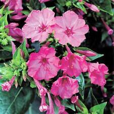 Four O'clock, Pink Trumpet Seed, 100 Seeds Organic, Vivid Pink Flower, 4 O'clock