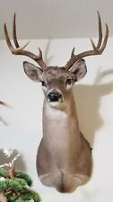 Deer Head Shoulder Mount Taxidermy Antlers Wall decor Real (Excellent Condition)