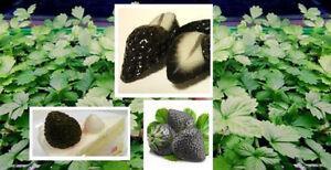 Muss man gesehen haben ! Schwarze Garten-Erdbeere für Topf & Blumenbeet * Samen