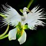 100 PCS Seeds Japanese Radiata Plants White Egret Orchid Bonsai Flowers Garden N