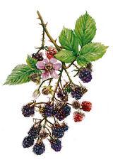60 semi di More di Rovo - mora  (Rubus ulmifolius) + OMAGGIO