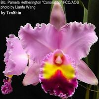 Rlc. Pamela Hetherington 'Coronation' 3 1/4'' Pot T653