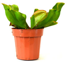 "Large Pitcher Plant - Sarracenia - Carnivorous - Gift Mature Holiday 3"" Pot Nice"