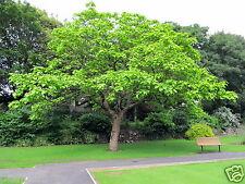 Tree Seed ARJUN -Terminalia arjuna- Thella Maddi/ Marudha Maram -Pack of 8 Seeds