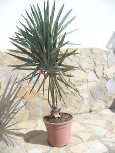 Bismarckia nobilis, eine Palme ca. 100-120 Bismarckpalme, Fächerpalme