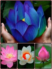 Bonsai lotus seeds Combo Pack:Blue Moon,Pink, Red Lotus Flower Seeds,Best Price