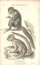 1800 Long Fingered And Flocky Lemur Engraved Mammal Plate - Shaw