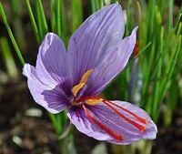 10 bulbs,Fall Blooming SAFFRON CROCUS Sativus Non-Chinese