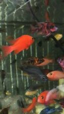 A brilliant offer of 20 beautiful Malawi Cichlid Hap/peacocks Juveniles 4/5cm.