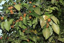 100Pcs Pyrus Betulaefolia Birchleaf Pear Tree Seeds Beautiful  Decorative Plants