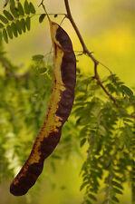 10 SEMI Spinacristi -Spino di Giuda - Gleditsia triacanthos L.