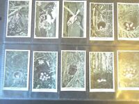 1935 Challis WILD BIRDS AT HOME twitcher set 36 Tobacco Baldic Cigarette cards