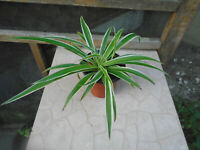 Live STRIPE SPIDER PLANTS - CHlLOROPHYLUM - TWO 4'' STARTERS