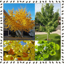 Ginkgo Biloba - Maidenhair tree (10+ viable seeds per package)
