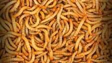 1000 LIVE MEALWORMS