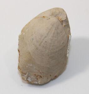 Brachiopode, Terebratula bisuffarcina, Jura, Oxford, Blasenberg, BRD-eb9902