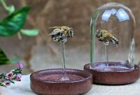 I23 Taxidermy Entomology Preserved Honey Bee Glass Dome Display oddities specimn