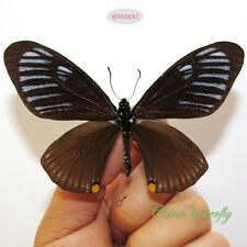 collection unmounted butterfly papilionidae Chilasa slateri A1