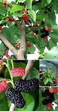 schwarzer Maulbeerbaum Pflanze für den Balkon Garten frosthart winterhart robust