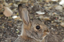 Cottontail Rabbit Taxidermy Reference Photo Cd