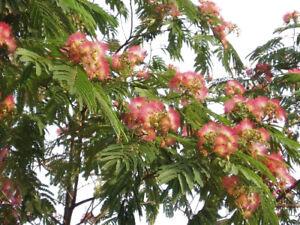 Mimosenbaum , Seidenbaum -Albizia julibrissin- Mengenauswahl 10 - 1.000 Samen