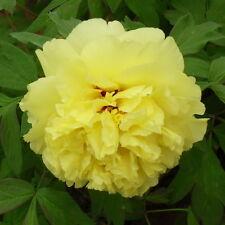 100pcs Yellow Peony Seeds Garden Flower Seeds Paeonia Suffruticosa