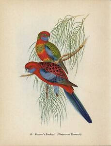 Rare 70+ yr Old Vintage GOULD Litho Art Print Tropical Bird PENNANT'S PARAKEET