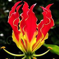 50 Stück Seltene Garland Flamme Lilium brownii Blumensamen Blumen Lilie·Sam V4U2