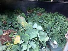 20  early PURPLE SPROUTING BROCCOLI FIELD GROWN  BARE ROOTED PLANTS NOT PLUGS