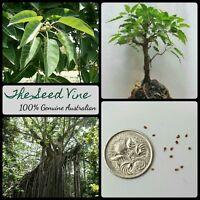 20+ WHITE FIG TREE SEEDS (Ficus virens) Rare Native Fruit Birds Shade Bonsai