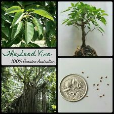 20+ WHITE FIG TREE SEEDS (Ficus virens) Rare Native Fruit Birds Shade Bonsai