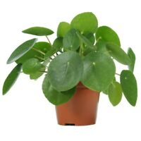 "Pilea Peperomioides UFO Chinese Money Live Plant 4"" Pot"