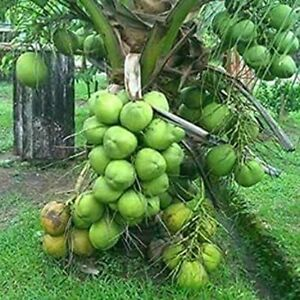 DWARF Green COCONUT TREE EXOTIC PALM - Thai Green Coconut Sprouted Live Plants