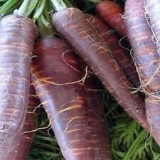 VEGETABLE  CARROT COSMIC PURPLE  3 GRAM ~ 3200 FINEST SEEDS