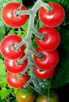 """TOMATE """"ANGORA"""" rote Früchte, blau-behaarte weiche Blätter,sehr würzig, süß,saft"""