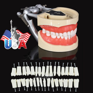 200 Type Dental Typodont Model With Removable Teeth 32pcs