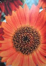 ♫ TOURNESOL 'Terra-Cota-Orange' - Helianthus ♫ Graines ♫ Soleil Ornement Potager