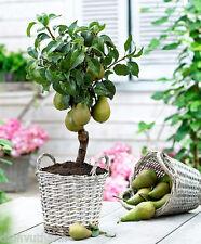 Dwarf Pear Tree Seeds - 50 Seeds