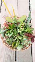 Mix 20 x Succulent plant rootless CUTTINGS Esquejes de plantas suculentas